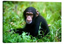 Canvas print  Little Chimpanzee