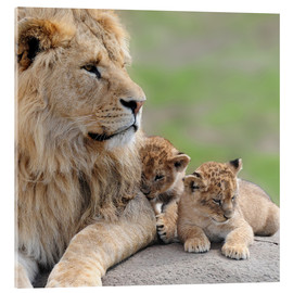 Acrylic print  Young lions