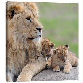 Canvas print  Young lions
