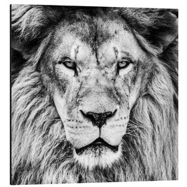 Aluminium print  King Lion - black and white