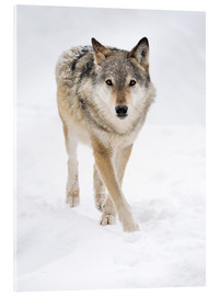 Acrylic print  Gray Wolf in Snow