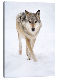 Canvas print  Gray Wolf in Snow