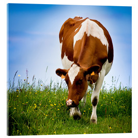 Acrylic print  Cow on pasture