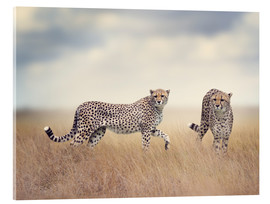 Acrylic print  Cheetahs on the hunt