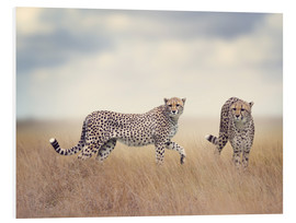 Foam board print  Cheetahs on the hunt