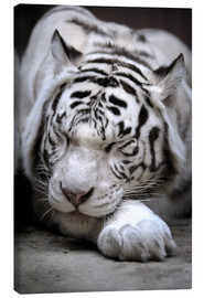 Canvas  Sleeping white tiger