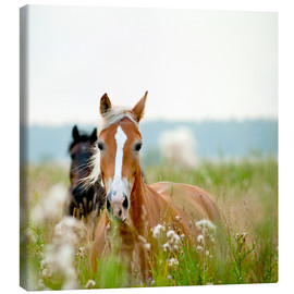 Canvas print  Haflinger with wildflowers