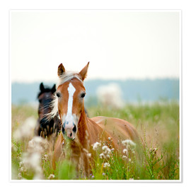 Premium poster  Haflinger with wildflowers