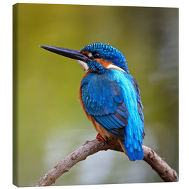 Canvas print  Kingfisher on a branch
