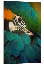 Wood print  Parrot in Plumage