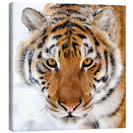 Canvas  Siberian tiger in the snow