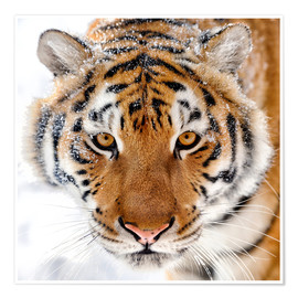Premium poster  Siberian tiger in the snow