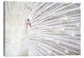 Canvas print  White Peacock
