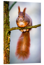 Acrylic print  Squirrel on small branch