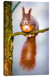 Canvas  Squirrel on small branch