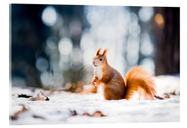 Acrylic print  Squirrel looking for its nut