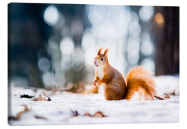 Canvas print  Squirrel looking for its nut