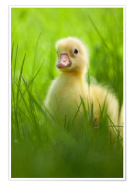 Premium poster Sweet little goose in the green grass