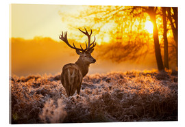 Acrylic glass  Red Deer in Morning Sun