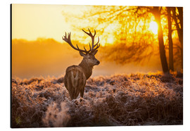 Aluminium print  Red Deer in Morning Sun