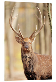 Acrylic print  Deer in autumn forest