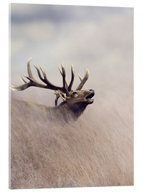 Acrylic print  The call of the stag