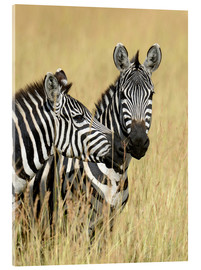 Acrylic print  Zebra friendship