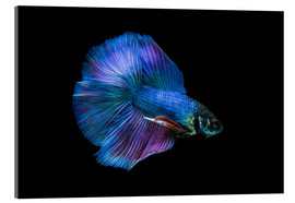 Acrylic print  Blue Betta