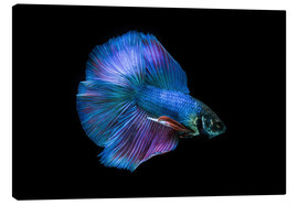 Canvas print  Blue Betta