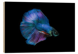 Wood print  Blue Betta