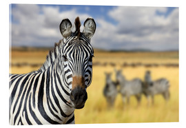 Acrylic print  View of zebras