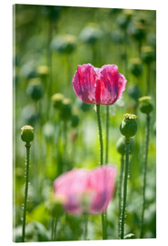 Acrylic print  blooming purple poppies