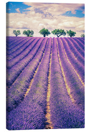 Lavender field with trees in Provence, France