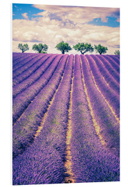 Foam board print  Lavender field with trees in Provence, France