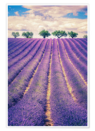 Premium poster Lavender field with trees in Provence, France