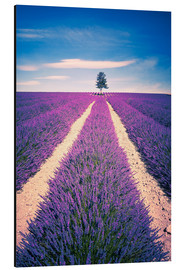 Aluminium print  Lavender Field with tree in Provence, France