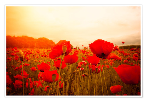 Premium poster Red Poppies in Spring