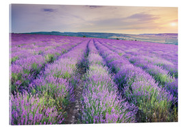 Acrylic print  Lavender Meadow at sunset
