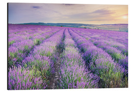 Aluminium print  Lavender Meadow at sunset