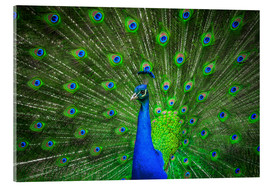 Acrylic print  beautiful peacock with feathers