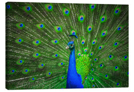 Canvas print  beautiful peacock with feathers