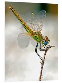 Forex  dragon-fly