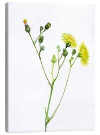 Canvas print  Field Sowthistle - Verbrugge Watercolor