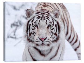Canvas  White bengal tiger