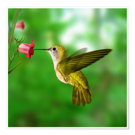Premium poster  Hummingbird drinking nectar from flower