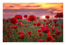 Premium poster Poppies in sunset