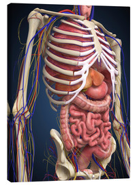 Canvas  Human midsection with internal organs.