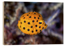 Wood print  Juvenile yellow boxfish - Ethan Daniels