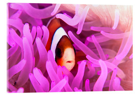 Acrylic print  Anemonefish amongst tentacles - Ethan Daniels