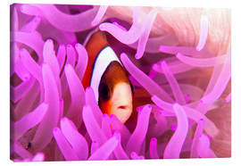 Canvas  Anemonefish amongst tentacles - Ethan Daniels